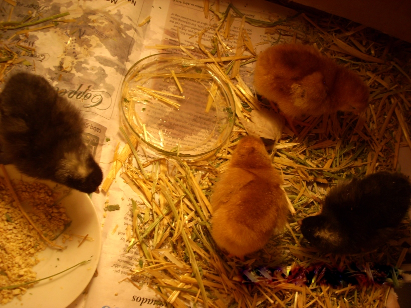 chicken coop, young chickens