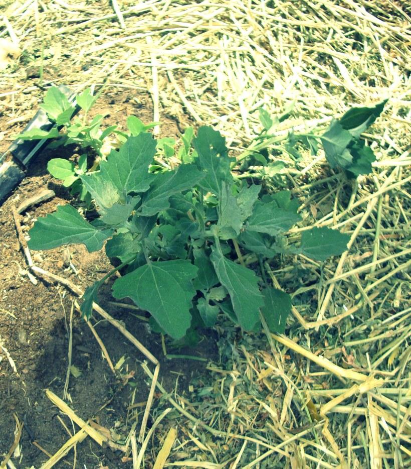 local, organic, albuquerque, farming, gardening