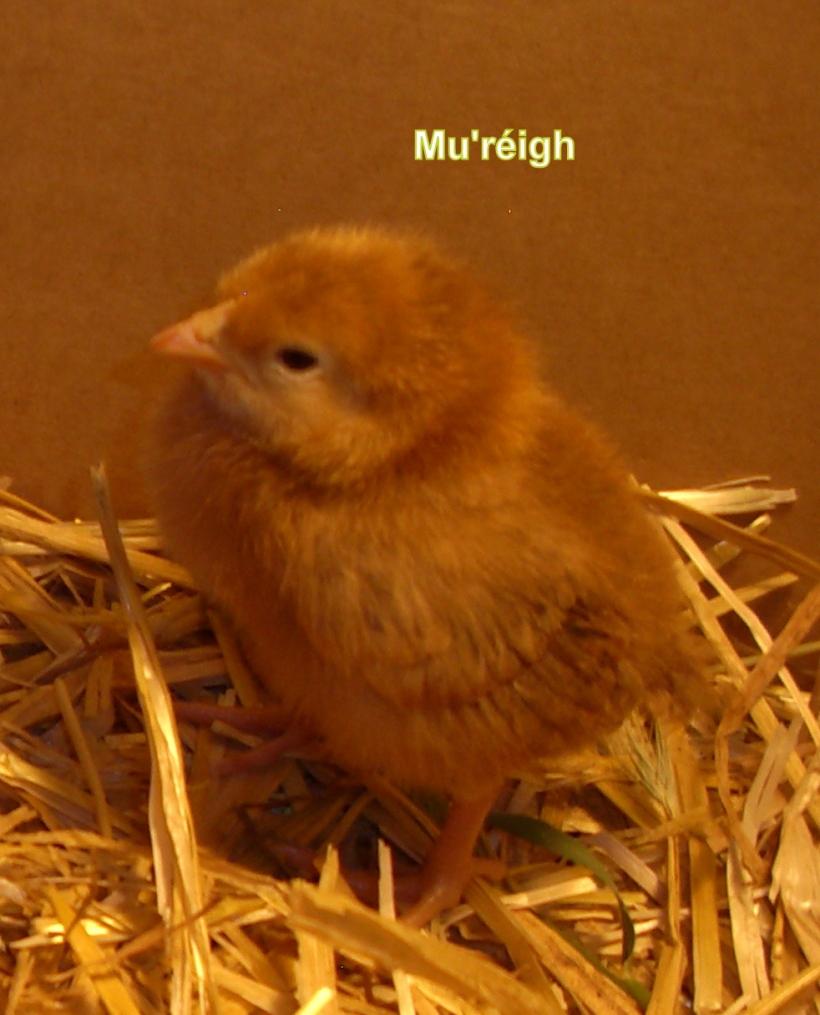 raising chickens, chicks, writing