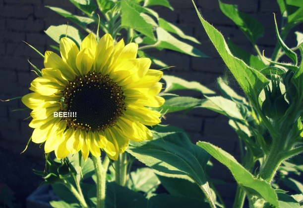 bees, organic, sunflower, writing