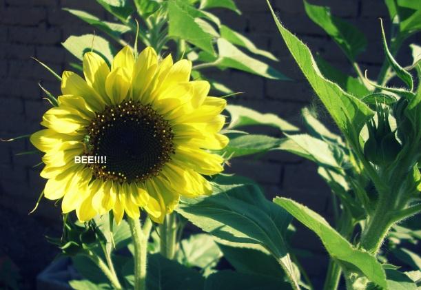 bees, organic, sunflower, writing
