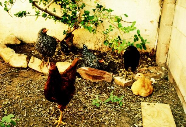 chickens,