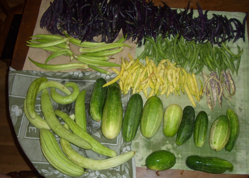 green chile, new mexico, harvest