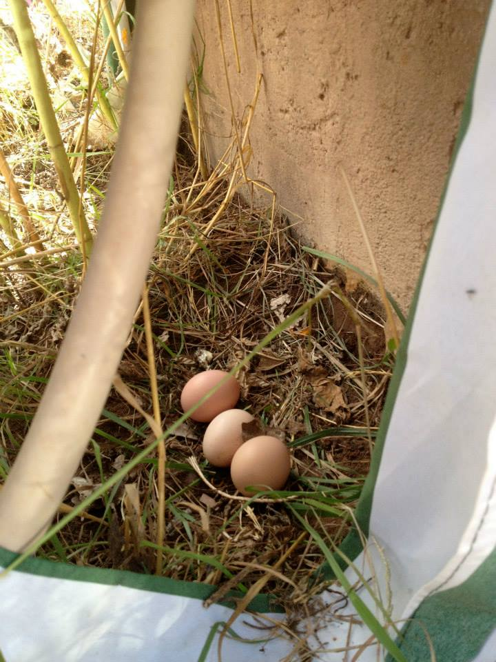 chickens laying eggs