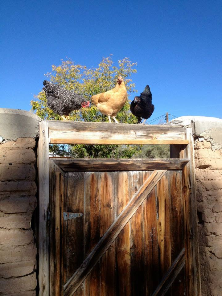 chickens, eggs, laying